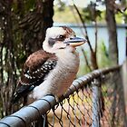 Kookaburra on the Fence by Bami