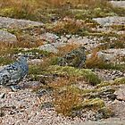 Ptwo Ptarmigan by Jamie  Green