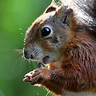Red Squirrel closeup by Christopher Lloyd