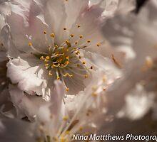 Hello Blossom  by Nina  Matthews Photography