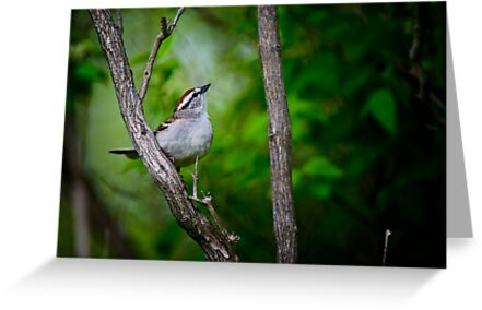 Chipping Sparrow by Michael Cummings
