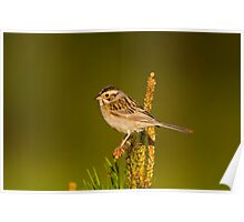Clay Coloured Sparrow Poster