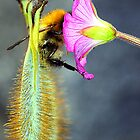 Bee feeding 'sitting down'  by rosie320d