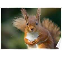Cute Red Squirrel Poster