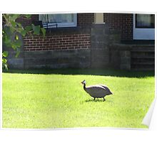 There's a guinea hen in my front yard Poster