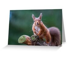 Red Squirrel in forest Greeting Card