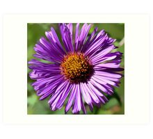 Fall Aster - (Face to Face) Art Print