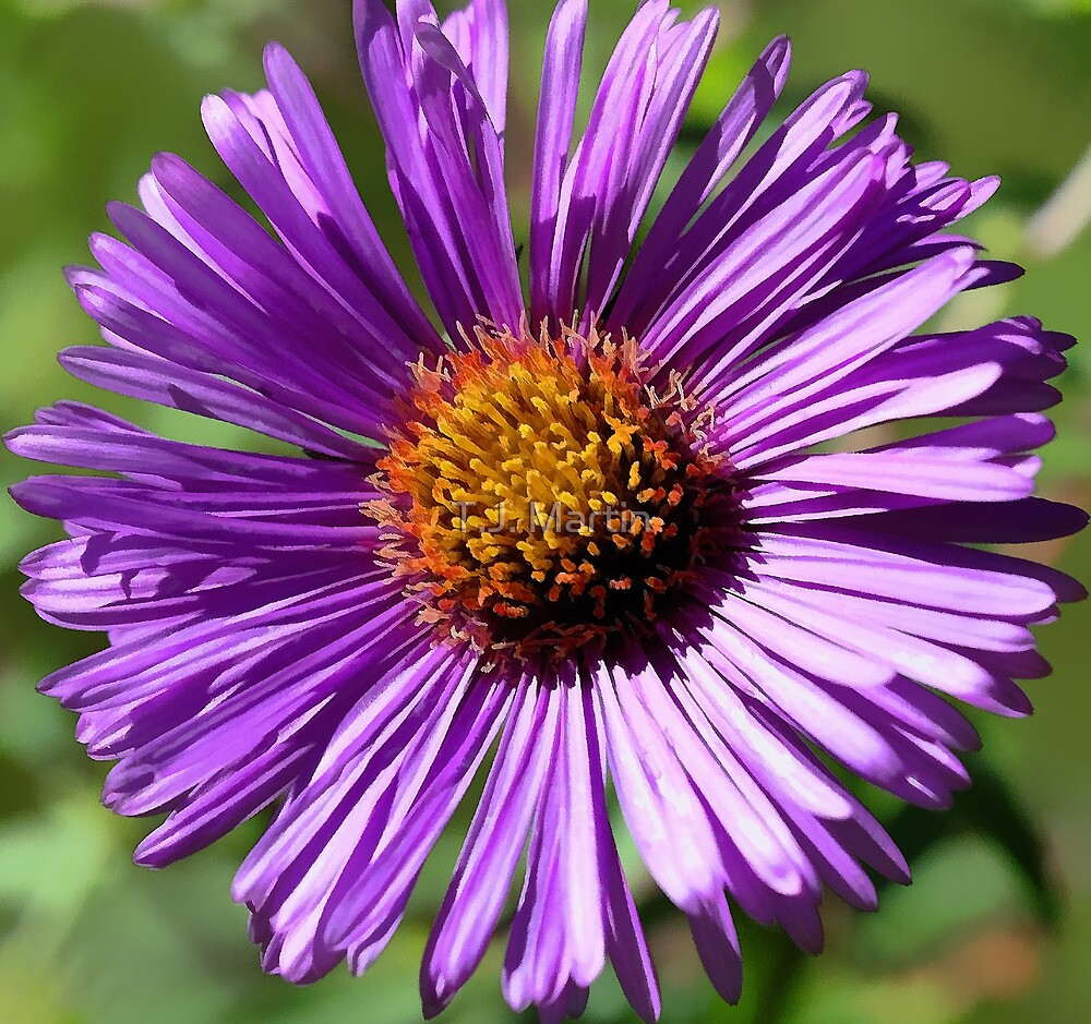 Fall Aster - (Face to Face) by T.J. Martin