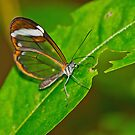 Glasswing Butterfly by Margaret S Sweeny