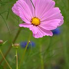 Light Pink Cosmos by Diana Graves Photography