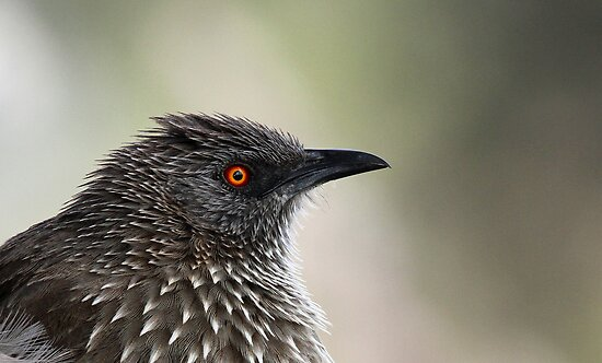 Arrow Marked Babbler profile by jozi1