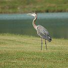 Blue Heron by Mechelep