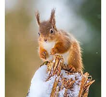 Red Squirrel in Winter Photographic Print
