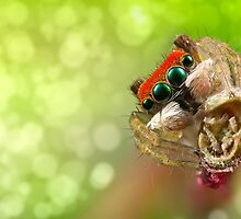 Focus Stacked 'Peacock Jumping Spider' by Kerrod Sulter