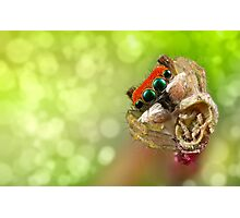 Focus Stacked 'Peacock Jumping Spider' Photographic Print