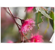 Afternoon Glow - Gum Blossom Poster