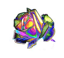 Splendiferous rose Photographic Print
