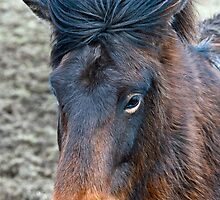 Brown Icelandic Horse Close up by Nick Jenkins