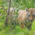 Amur Tiger Cub by Mark Hughes