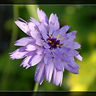 Purple daisy flower in frame. Floral nature garden photography. by naturematters