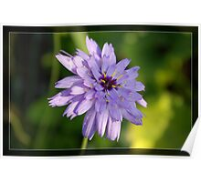 Purple daisy flower in frame. Floral nature garden photography. Poster