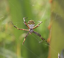 Orb Weaver Spider Waiting in its Web by rhamm