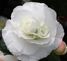 White Begonia by AngelaBishop