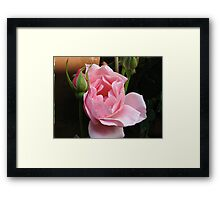 Up Close and Personal - Sugar Pink Rose Framed Print