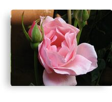 Up Close and Personal - Sugar Pink Rose Canvas Print