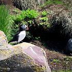Puffin by Charles Plant