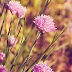Chive Blossoms by afeimages