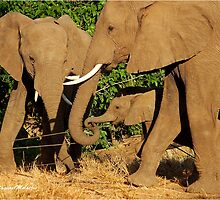 THE AFRICAN ELEPHANT - Loxodonta africana - THE FENCE CROSSING by Magriet Meintjes