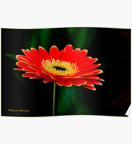 STRIKING AND VIBRANT IN SIMPLICITY - THE GERBERA Poster