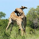 THE SPELL - GIRAFFE - Giraffa camelopardalis - ENCOUNTERS IN MATING SEASON by Magriet Meintjes