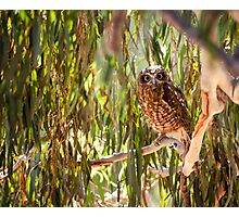 Southern Boobook Owl Photographic Print