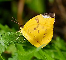 Lemon Migrant Butterfly by Penny Smith