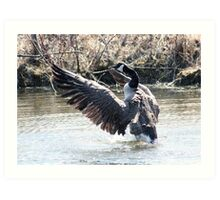 Canada Goose Flapping its Wings Art Print