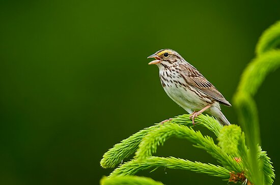 Savannah Sparrow by Michael Cummings