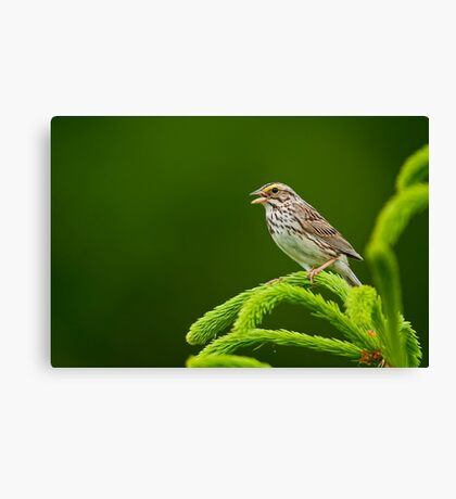 Savannah Sparrow Canvas Print