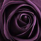 purple rose by clayton  jordan