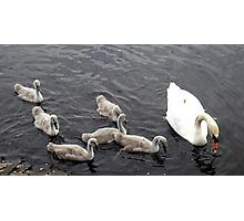 Cygnets 03 Photographic Print