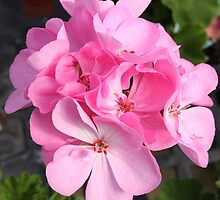 Pink Geranium Cluster by AngelaBishop