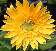 Sunshine Daisy by AngelaBishop