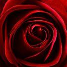 red rose  by clayton  jordan