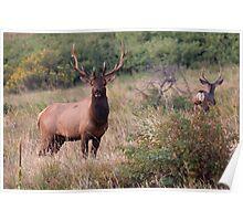 Elk and deer Poster