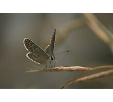 The brown argus butterfly prepares to take off Photographic Print
