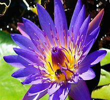 Purple water lily vertical view by ♥⊱ B. Randi Bailey