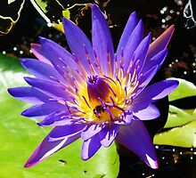 Purple waterlily by ♥⊱ B. Randi Bailey