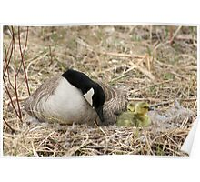 Female Canada Goose Watching Goslings Poster