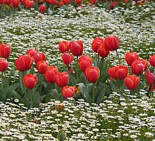 Tulips in a Field of Flowers - Canberra Floriade by RickLionheart